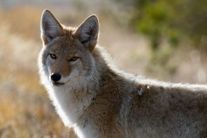 best coyote sets for trapping