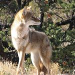 What is the Best Coyote Bait for Trapping?