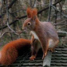 ground squirrel control for attic