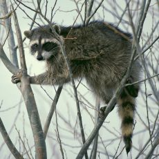 local raccoon pest control