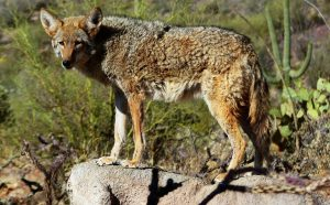 what is the best coyote repellent
